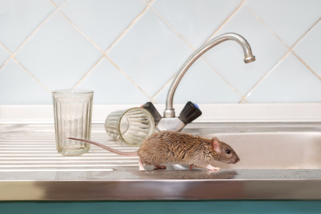 Closeup young rat prowls on the sink at kitchen on background of two faceted glasses. Fight with rodents in the apartment..