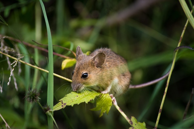 house mouse in herts property