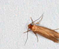 clothing moth