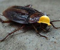 hardy pest