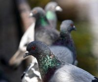 pigeon scaring devices