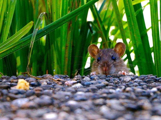 seen rats