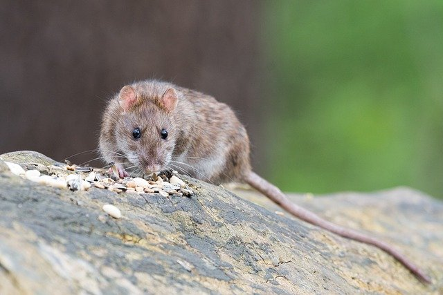 seeds attracting rats