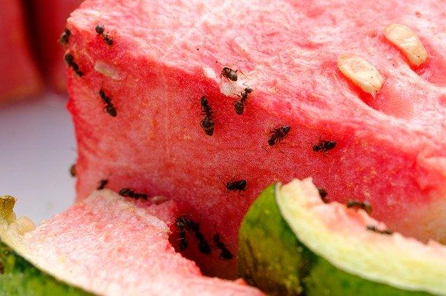 ants pantry watermelon