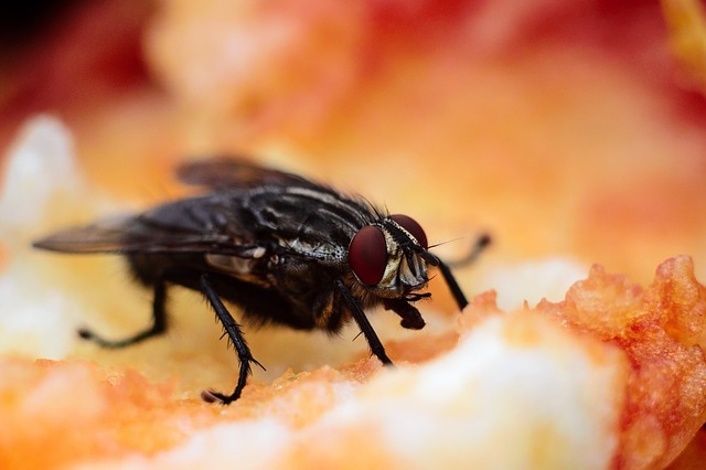 fruit fly pantry