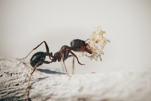 ant small size